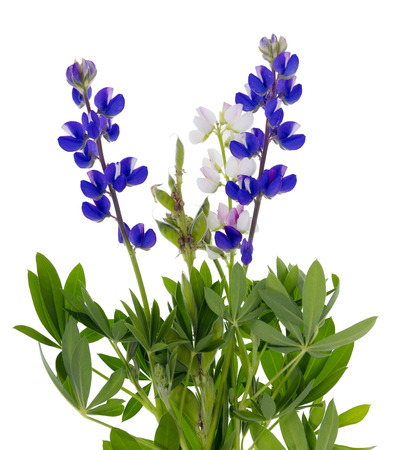 Plant of a tiny wild blue lupine isolated on white