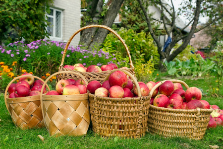 Willow baskets with apples on a green lawn near the rural house. Concept of a autumn harvest