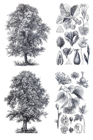 beech: Retro vintage silhouettes of a  lindenand and  beech trees. An engraving illustration from the public domain dictionary ( published in 1905). Isolated on white