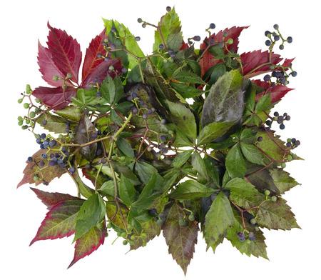 hojas antiguas: La bandera est� hecha de hojas viejas y las bayas de uvas silvestres de oto�o. Aislado en blanco