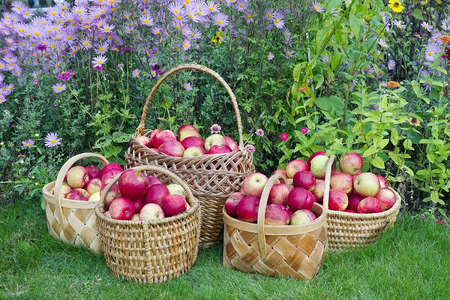 grown up: Organic apples are grown up without fertilizers and herbicides. Apples in baskets are ready to sale in rural shop Stock Photo