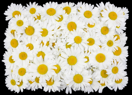 daisy: Tragic square funeral buttonhole from white daisies flowers. Isolated on black