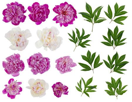 Rosa y peonías blancas reales - flores y hojas conjunto grande. Aislado en blanco collage de varias fotos Foto de archivo