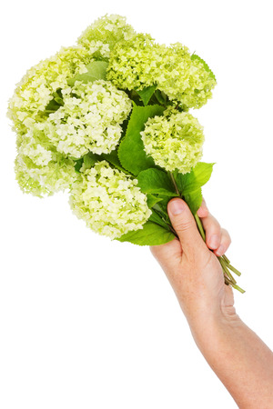 terry: Bouquet of strange terry green flowers in a woman hand. Isolated Stock Photo