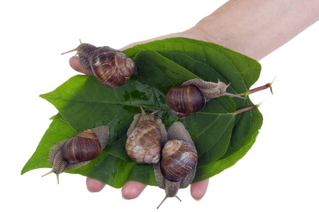 Cultivation of edible delicious big snails. Green leaves with snails  in a hand of the rural worker.Isolated studio shot concept.