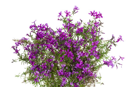 creeping plant: Bush of gentle flowers of a pink Alpine creeping carnation. Blossoms in the spring. Strong and persistent smell. Isolated on white