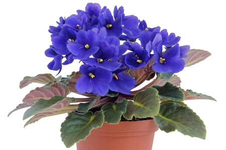 ideal: Ideal indoor blue violets  flowers  bush isolated Stock Photo