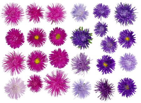 terry: Twenty five  of autumn terry pink and blue violet asters flowers  set. Isolated collage