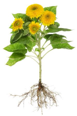 planta con raiz: Real campo de girasol con el medio ambiente con ra�ces y flores. Disparo de estudio aislado