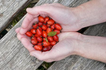 inmunidad: En manos de la anciana bayas silvestres rojas de un dogrose. En bayas hay una gran cantidad de vitaminas. Ellos son �tiles para aumentar la inmunidad.