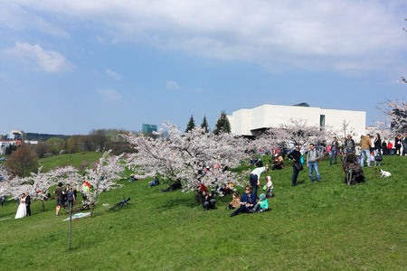 diplomat: VILNIUS, LITHUANIA - APRIL 25, 2015: Pink Cherry (Sakura) trees blossoms in the Japanese diplomat Sugihara named public park. Sugihara saved many Jews from death during the last war.