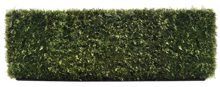 trimmed: Long isolated green fence hedge from vergreen trees  panoramic collage. Stock Photo