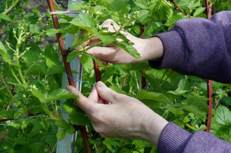 carefully: Calloused working hands of the farmer carefully caress gentle spring branches of garden blackberry against the blue sky