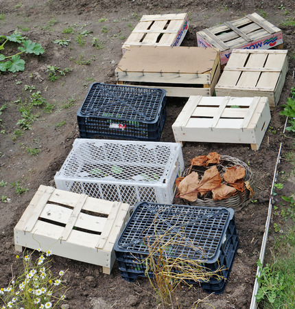 VILNIUS, LITHUANIA - JULY 06, 2016: The poor gardener the fan covers young sprouts of cabbage from bad weather with wooden and plastic boxes from under fruit of world Mogalla suppliers