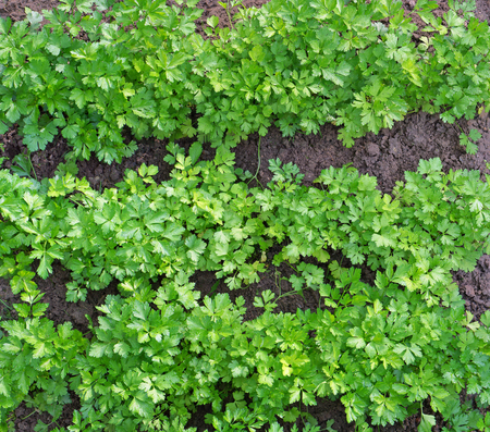 spicy plant: Fresh green bushes of a spicy plant Parsley on a compost bed. Solar windy July morning. Dew drops on leaves. A look with top Stock Photo