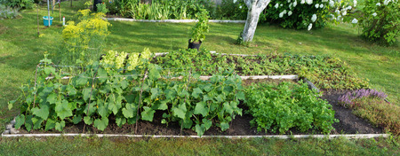 Cultivation of vegetables and spices in the conditions of northern Europe. On beds of a small farm cucumbers, salad, fennel, an oregano, wild strawberry and parsley grow. Panoramic collage from several photos Stock fotó - 65553357