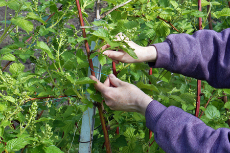 caress: Farmers hands  carefully caress gentle spring branches of garden blackberry Stock Photo