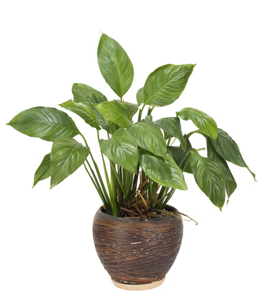 unpretentious: Very unpretentious simple no name green houseplant grows in a ceramic pot eternally. Isolated on white