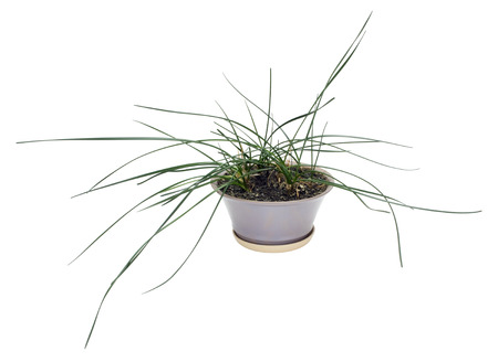 green onions: Strange houseplant with leaves, as at green onions. Isolated on white Stock Photo