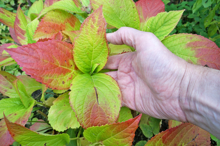 An elderly grandpa farmer holds in his hand a leaves of a autumn hydrangea plant. Real outdoor shot with soft focus