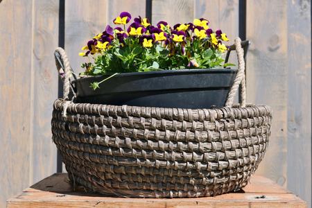 On a wooden table near the village house there is a basket with blossoming Pansies. Spring sunny day outdoor shot