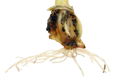 This bulb was eaten from the inside by a terrible underground garden pest insect - a fen cricket bear.