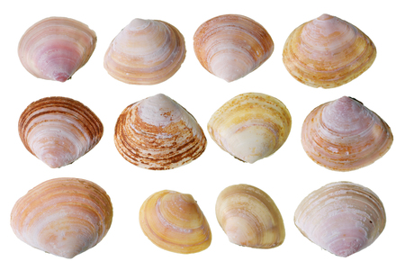 Halves of pink small cockleshells that live in the Baltic Sea. Isolated on white studio macro set
