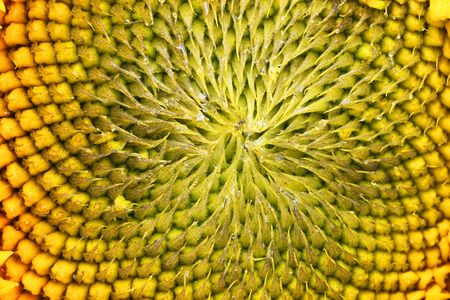 Sunflower bud at the beginning of seed ripening - top view of the flower.