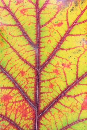 Autumn various colors - from green to red and yellow - in one oak  leaf. October macro studio shot as blood veins and vessels concept