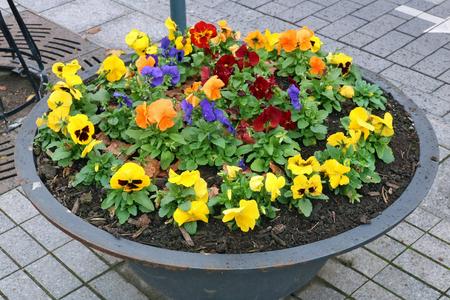 Pansies autumn  gentle red  yellow and blue flowers grow in an old metal  modern steel street flowerpot.
