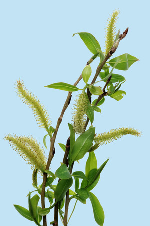 Spring April  twigs  with flowering buds and green leaves  of wild Willow tree.