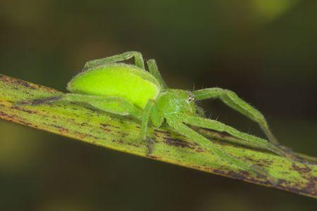 arachnoid: Femmina di ragno (micrommata virescens)