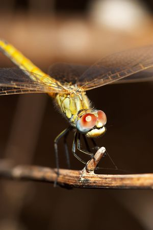Dragonfly ( sympetrum sp ) Stock Photo - 669946