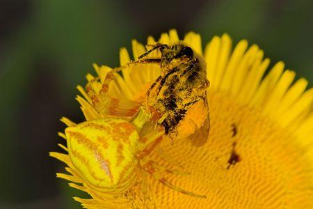 arachnoid: Granceola (Thomisus Onustus)