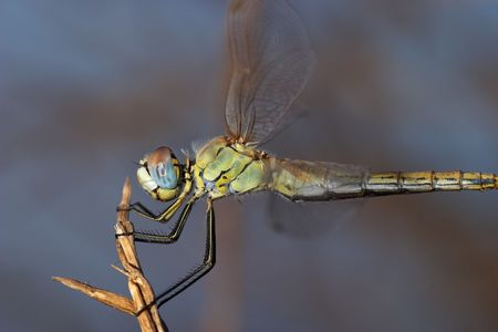 Dragonfly ( sympetrum sp ) Stock Photo - 668656