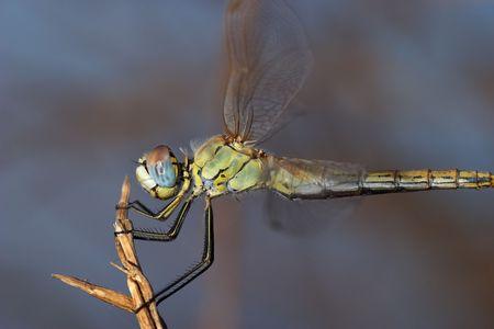 sympetrum: Dragonfly ( sympetrum sp )