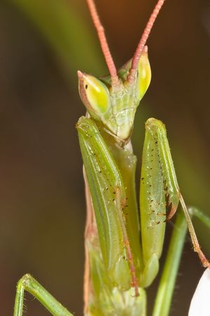 mantis (Apteromantis aptera) photo