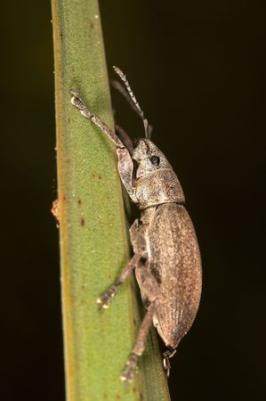 snout: Snout beetle ( Phyllobius argentatus )