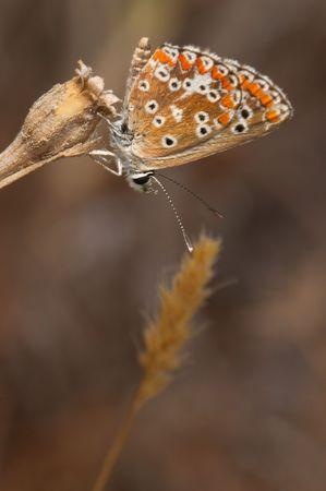 A Princess Butterfly (Polymmatus Icarus) photo