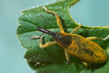 Snout beetle ( Lixus angustatus ) photo