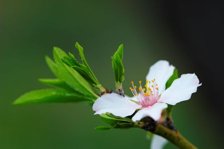 Flower  Almond Tree