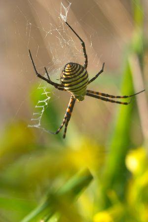 argiope: Spider (argiope bruennichi) Stock Photo