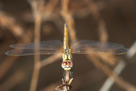 Dragonfly ( sympetrum sp ) Stock Photo - 695751