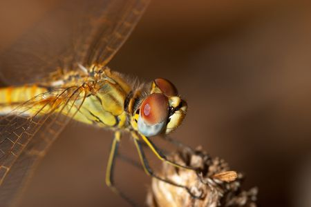Dragonfly ( sympetrum sp ) Stock Photo - 695750