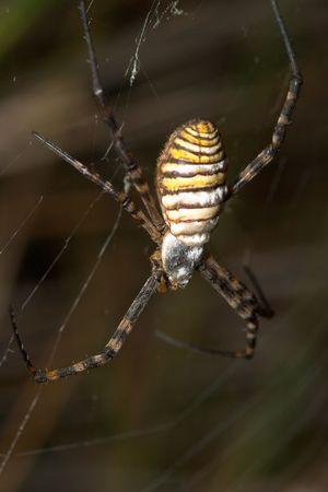 arachnoid: Spider (argiope bruennichi) Stock Photo