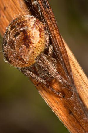 arachnoid: Spider (agalenatea redii) Stock Photo