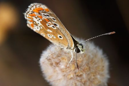 A Princess Butterfly (Polymmatus Icarus) photo