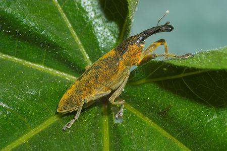 snout: Snout beetle ( Lixus angustatus ) Stock Photo