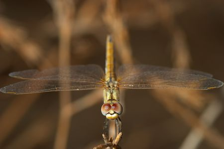 Dragonfly ( sympetrum sp ) Stock Photo - 713515