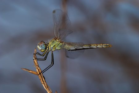 Dragonfly ( sympetrum sp ) Stock Photo - 713520